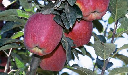 Satın al Elma fidanlarının gamı