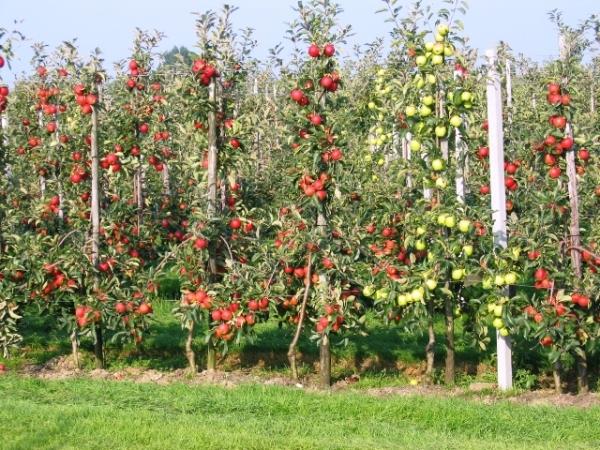 где купить саженцы плодовых деревьев: