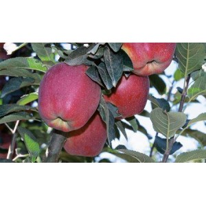 Buy Apple tree plants