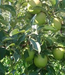 Satın al Bodur ve klasik elma fidan çeşitleri
