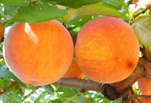 Buy Peach seedlings