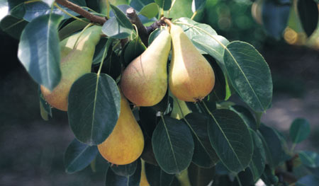 Buy Pear seedlings