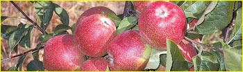 Satın al Elma fidanları Summer red
