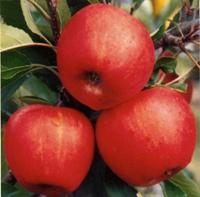 Satın al Red star elma fidanı