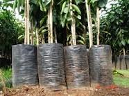 Buy Saplings of fruit trees