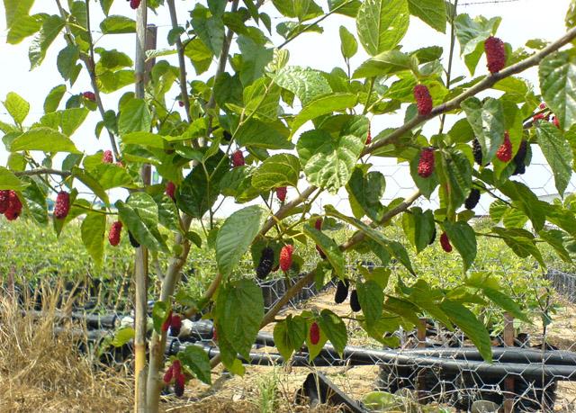 Buy Mulberry saplings