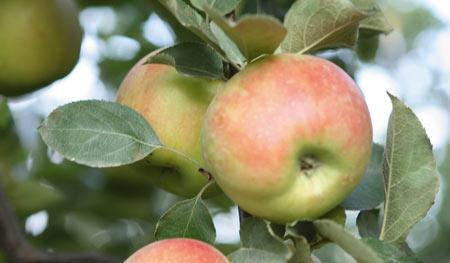 Satın al Elma fidanı Jonagold