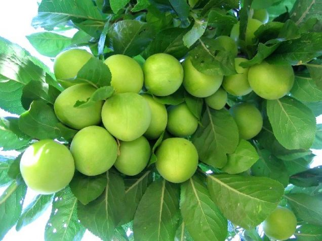 Buy Plum saplings