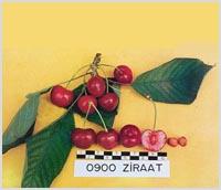 Buy Cherry seedlings