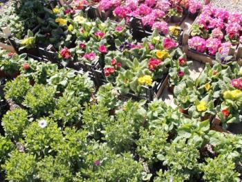 Satın al Dış mekan çiçeği