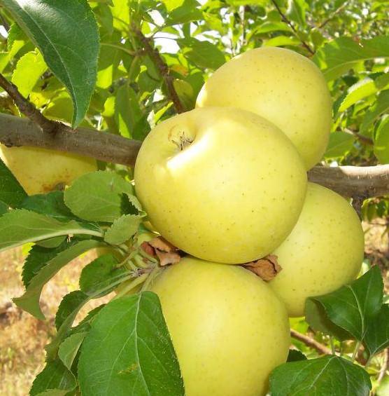 Satın al Elma fidanı