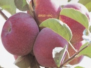 Satın al Jersey mac elması fidanları