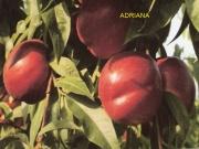 Satın al Adriana nektarin fidanları