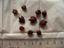 Satın al Lilyum tohumu