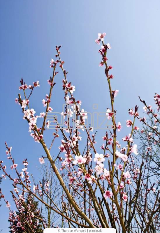 Buy Nectarine seedlings