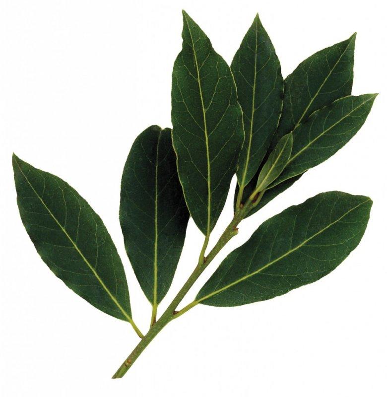 Satın al Defne Ağacı Yaprağı