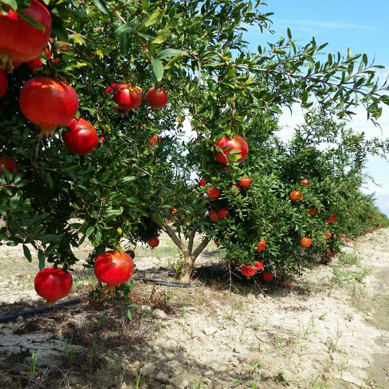 Satın al Fresh pomegranate