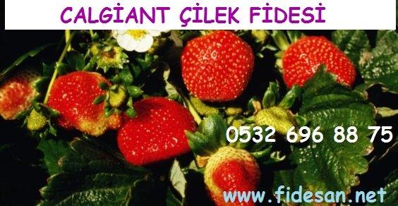 Satın al Calgiant çilek fidesi özellikleri, Calgiant çilek fidesi yetiştiriciliği,