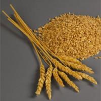Satın al Wheat (Buğday)