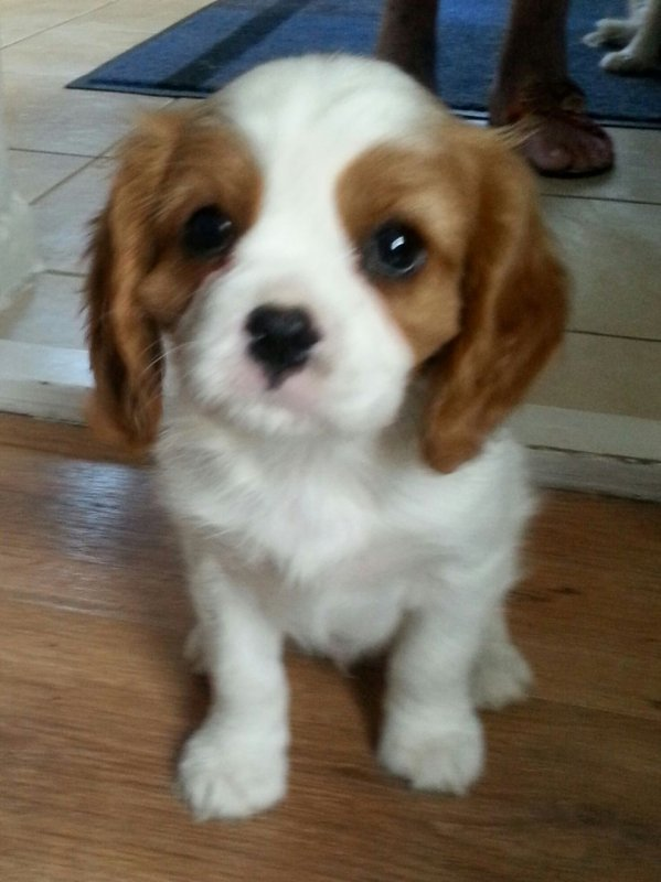 Satın al Excellent Males and female king charls cavalier puppies