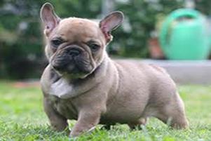 Satın al Playful french bulldogs