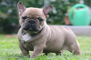 Satın al French bulldog puppy for rehoming