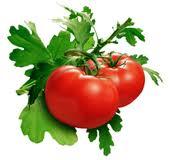 Doğal domates fideleri