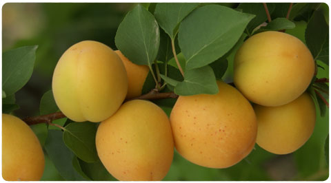 Buy Apricot seedlings