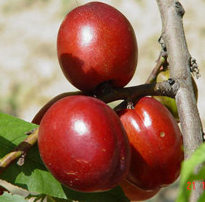 Şeftali Tohumları , Rich Lady Tarım Ürünleri