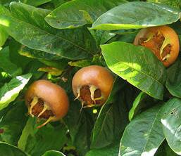 Muşmula Fidanı Meyve Özellikleri