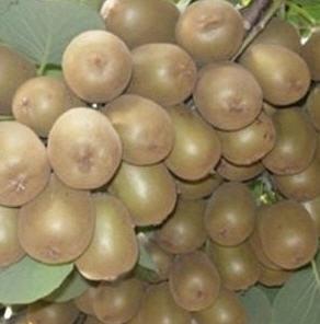 Kivi , Patates Görünümde İçi Yeşil Meyve fidanları