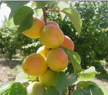Satın al Kayısı Çeşitleri , Faydalı Meyvelerin fidanları, fidan