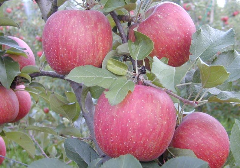 Elma fidanı Fuji Kiku çeşidi