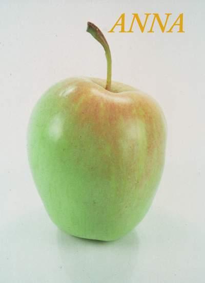 Elma Fidanı, ANNA çeşidi