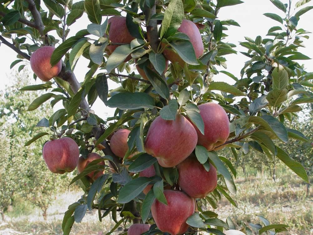 Satın al Elma Fidanı RED CHİEF
