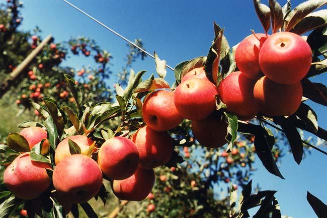 Elma Fidanı ROYAL GALA