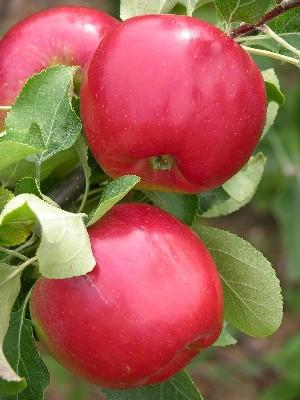 Elma Fidanı RED FREE
