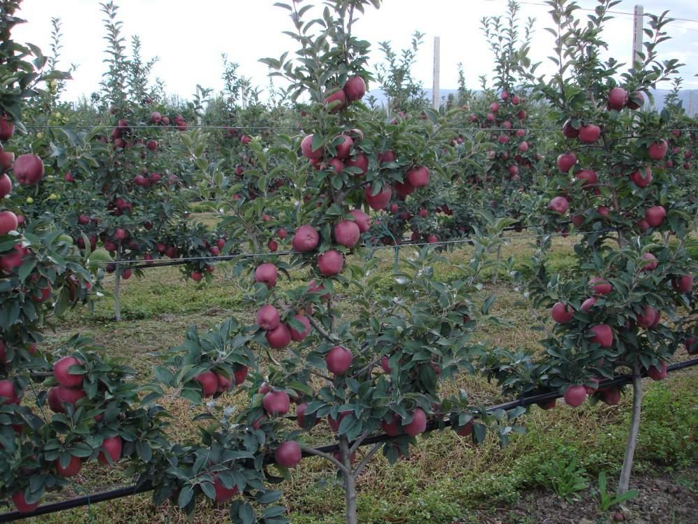 Satın al Elma fidanı SCARLET SPUR