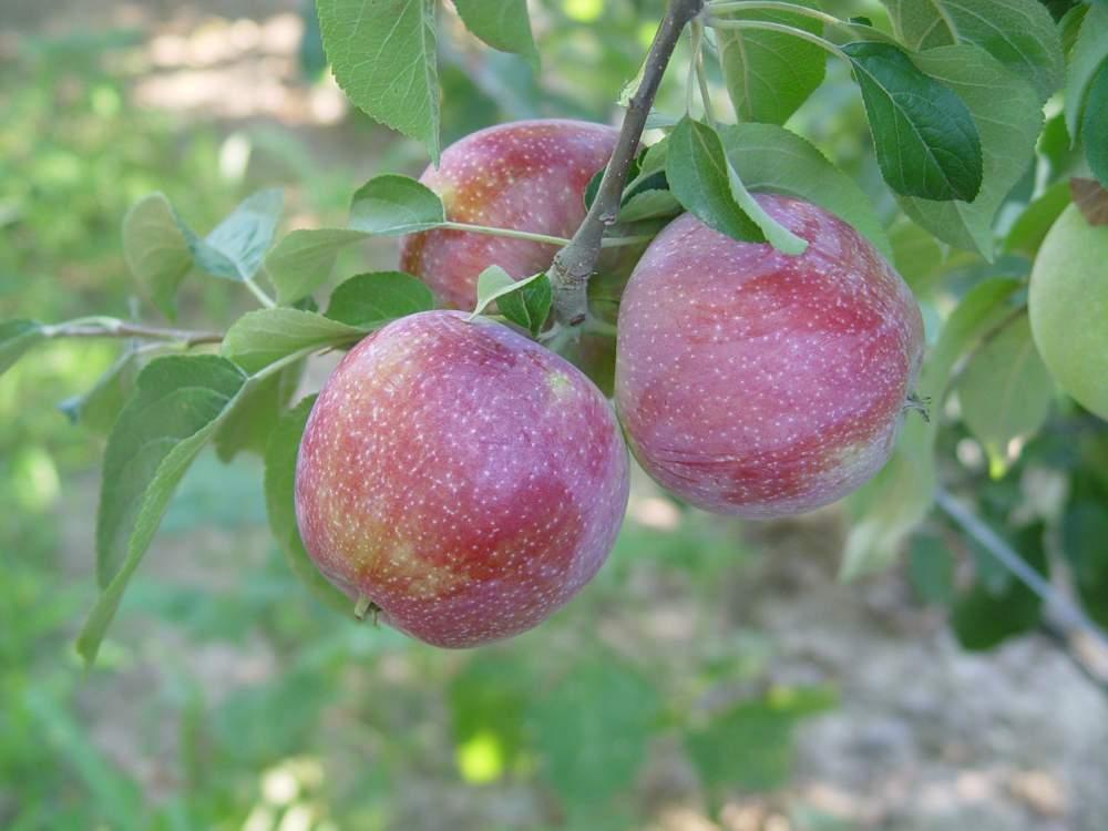 Elma fidanı WİLLİAMS PRİDE