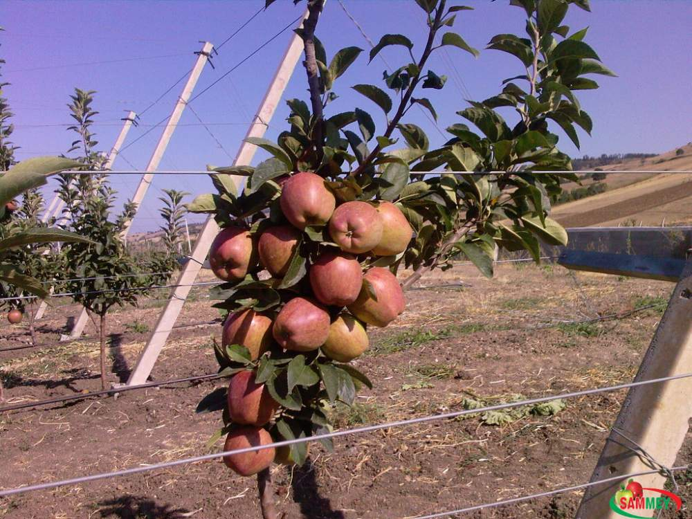 Elma fidanı elma ağacı SUPER CHİEF