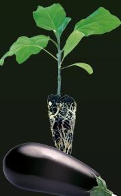 Satın almak Aşılı ve Normal Fideli Olan Patlıcan Üretimi ve Uygulamaları