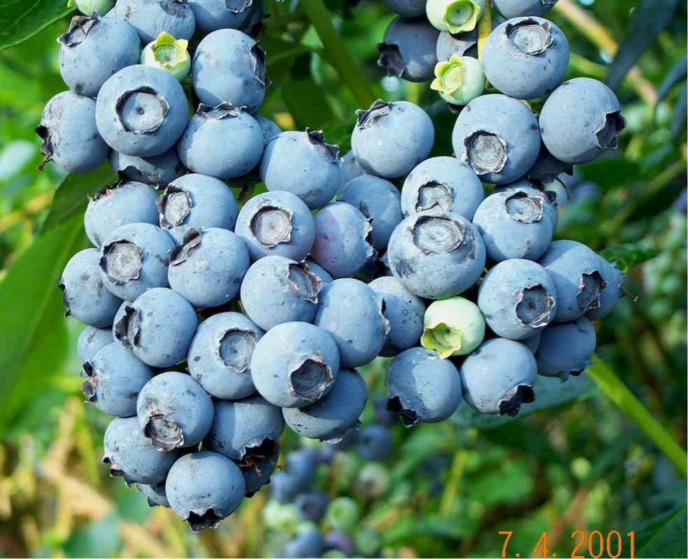 Meyve fidanı Likapa - Yaban Mersini