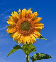 Çerezlik ayçiçek tohumu