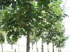 Acer campestre ağaçları