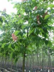 Kestane ağaçları