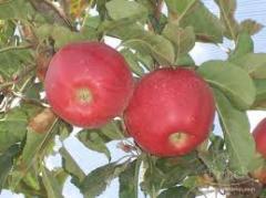 Gala elma çeşidi