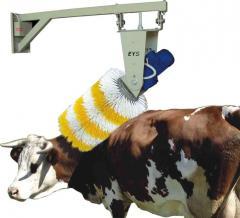 Sığır Fırçası