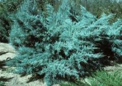 "Juniperus x media ""Pfitzeriana"