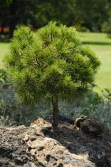 """Pinus brutia """"Nana"""""""