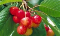 Meyve bitkileri